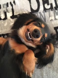 Best smile ever. doxie