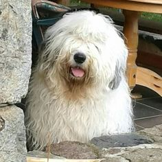 Old English Sheepdog - what a beauty!