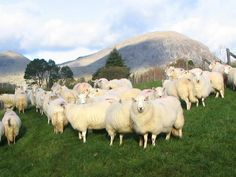 More Welsh sheep, cousins perhaps of a group that taught me a great life lesson. Great Life, Welsh, Cousins, Life Lessons, Sheep, Badge, Group, Animals, Welsh Language