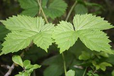 Wilder Hopfen - Humulus lupulus