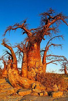 Baobabs Adansonia digitata, Kubu isalnd, in the south west of Sowa Pan
