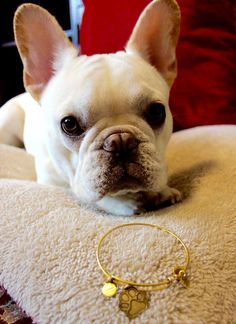 Our friend @charlie_thefrenchie is the cutest!  | ALEX AND ANI Prints Of Love Charm bangle