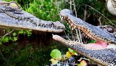 You can know comparison, difference, the similarity between crocodile vs alligator. Read this article to compare alligator vs crocodile and who will be going to win the fight between them. Reptiles, Mammals, American Crocodile, Wildlife Biologist, Black Spiderman, Interior Design Programs, Animals Amazing, Habitats, Animal Pictures