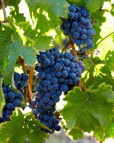 No quiero flores en mi tumba. Traedme fruta mientras viva. Fruit Cartoon, Grape Vines, Gardens, Exterior, Nature, Fruit, Flowers, Naturaleza, Vineyard Vines