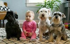 Ranked as one of the most popular dog breeds in the world, the Miniature Schnauzer is a cute little square faced furry coat. It is among the top twenty favorite Dogs And Kids, Animals For Kids, I Love Dogs, Animals And Pets, Baby Animals, Funny Animals, Cute Animals, Schnauzer Dogs, Schnauzers