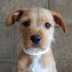 Sequoia is a #Terrier blend #puppy who loves to play! She would be a perfect new addition to a family who will take her on long walks and throw the ball with me. #Adopt her in #SanDiego!