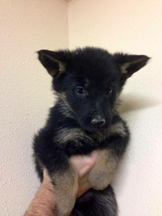 My little German Shepherd baby comes on the 18th.