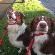 Max and Bryn are reportedly walking great on their Gencon All in one no pull leader.  We highly recommend these for dogs that pull on the lead   http://www.packleaderdogadventures.co.uk/products/the-gencon-all-in-one-no-pull-lead