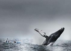 humpback whale - puerto lópez, ecuador