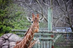 Angel Sharum Photography: 365 Photos a Year: Day 55: Giraffes at the Knoxvil...