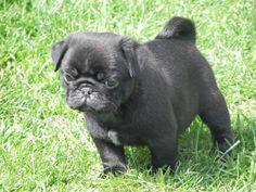 Black Pug, Pugs, French Bulldog, Animals, Animais, Animales, Animaux, Pug, Bulldog Frances