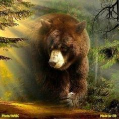 The website for the Wildlife Research Institute and Dr. Lynn Rogers research on black bears. Bear Spirit Animal, Spirit Bear, Giant Animals, Big Animals, Teddy Bear Pictures, Animal Pictures, Bear Paintings, Bear Tattoos, Bears