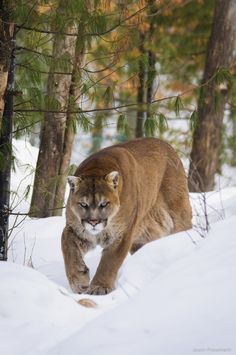"Cougar in Ontario, Canada, winter  ""Stay right there""  by Jason Presement on 500px"