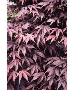 Monrovia's Bloodgood Japanese Maple details and information. Learn more about Monrovia plants and best practices for best possible plant performance. Deciduous Trees, Trees And Shrubs, Trees To Plant, Outdoor Landscaping, Landscaping Plants, Bloodgood Japanese Maple, Bloodgood Maple, Japanese Tree, Monrovia Plants