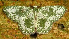 Geometer moth, Oospila athena? Geometridae | Flickr - Photo Sharing!