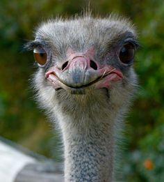The Ostrich – Biggest Bird on Earth? Nature Animals, Animals And Pets, Baby Animals, Funny Animals, Cute Animals, Ema, Cute Animal Illustration, Australian Animals, African Animals