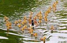 """tittyrants: """"whatthefauna: """"Adoption of unrelated kin is common in geese, as well as other waterfowl. These parents hit the jackpot, with 40 goslings in tow. Love Birds, Beautiful Birds, Beautiful Gardens, Baby Animals, Cute Animals, Power Animal, Call Of The Wild, Nature Pictures, Bird Pictures"""
