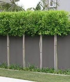 80 Fascinating Evergreen Pleached Trees for Outdoor Landscaping - Garten Modern Garden Design, Contemporary Garden, Landscape Design, Back Gardens, Small Gardens, Outdoor Gardens, Small Garden Trees, Outdoor Plants, Outdoor Landscaping