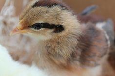 Brown Leghorn Chicken