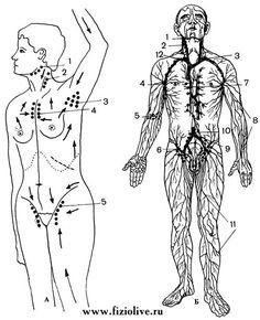 Лимфатические сосуды, лимфатические узлы и движение лимфотока Lymph nodes