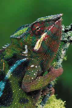 Chameleon....