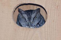 Western Screech Owl, Westerns
