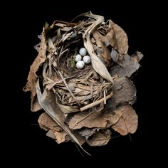 Amazing Bird Nests From Around the World (Golden-winged_Warbler)