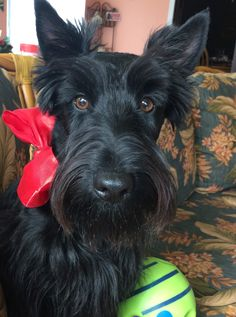 Doggies, Dogs And Puppies, Animals And Pets, Cute Animals, Scottie Dogs, Scottish Terriers, Dog Paws, Dogs Of The World, Terrier Dogs