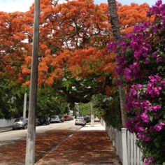 Brilliant bougainvillea and Royal Poinciana tree on Southard St., Key West