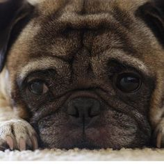 This Pug is Watching You!!! #pug #pugs #smalldogs #giftsfordogs