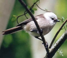 Whitehead, adult - Endemic Native NZ Bird