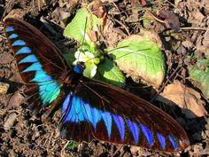 """The King of Spring"" - photo by Peter Stoeckl, via TrekNature;  Birdwing, Blue Devil  ... Apriloptera crookiana   ???"