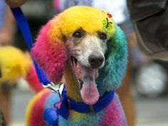 A multicolored painted poodle is seen during the