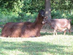 goat and llama--I LOVE BOTH!
