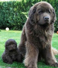 AWE!!!!Newfoundland mother and puppy. The average height of Newfoundlands is between 26-28 inches, and average weight is 100 to 150 pounds.