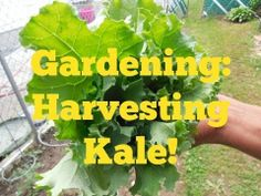 Harvesting kale video! #gardening