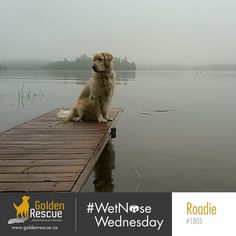 Happy #wetnosewednesday !! Is Roadie 1805 meditating or is he staring at a duck? #goldenretriever #rescuedog #secondchances #adoptdontshop Rescue Dogs, Wednesday, Life Is Good, Adoption, Journey, Happy, Animals, Foster Care Adoption, Animales