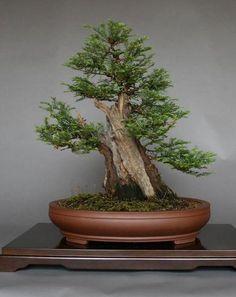 Coast Redwood bonsai seeds [ 30pcs / pack ]