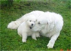Just found out about this breed. I think I want a Kuvasz.