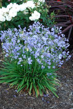 Blue Storm agapanthus in garden Garden Bulbs, Garden Shrubs, Garden Plants, Agapanthus Plant, Agapanthus Blue, Colorful Garden, Blue Garden, Rainbow Garden, Hampton Garden