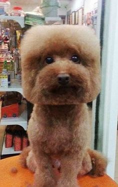 The shape of things to come for dog grooming: Pets have their fur trimmed to make their heads square or circular as part of bizarre new trend in Taiwan | Daily Mail Online