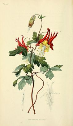 Aquilegia canadensis, from: Flora conspicua  London :Longman, Rees, Orme, Brown, and Green,1826.Via BioDivLibrary. Flora conspicua : a selection of the most ornamental flowering, hardy, exotic and indigenous trees, shrubs, and herbaceous plants, for embellishing flower-gardens and pleasure-grounds / by Richard Morris ; drawn and engraved from living specimens by William Clark.