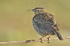 Eastern Meadowlark - Yahoo Image Search Results