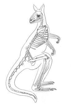 Kangaroo Skeleton by Lacie-Lady-Lynx on DeviantArt Kangaroo Illustration, Medical Illustration, Animal Paintings, Animal Drawings, Skeleton Anatomy, Skeleton Drawings, Animal Skeletons, Animal Bones, Prehistoric Animals