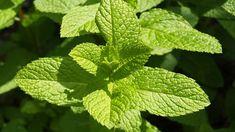 Mátový čaj, jako klíčový nástroj očisty organismu | Peter Insider