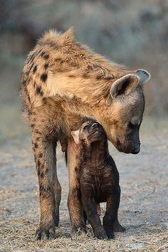 Hyena & cub....20110728174743  by ticktockdoc on Flickr.  DEOXIFY