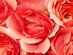 Coral Roses Picture