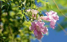 A sete-léguas floresce durante o ano todo, com mais vigor na primavera e no verão, e tem flores perfumadas. Cresce rápido: seus ramos podem chegar a 10 m de comprimento. Exige sol pleno e podas anuais no inverno, além de se adaptar bem às cidades praianas