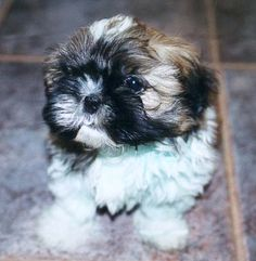 Shih Tzu - Shih Tzu  *Looks just like the lil girl that we will bringing home in about 3 wks!  :)