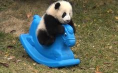 Baby Panda Plays on a Rocking Horse - Animal Stories Panda Love, Cute Panda, Cute Little Animals, Cute Funny Animals, Pandas Playing, Baby Panda Bears, Baby Pandas, Cute Bears, Cute Creatures